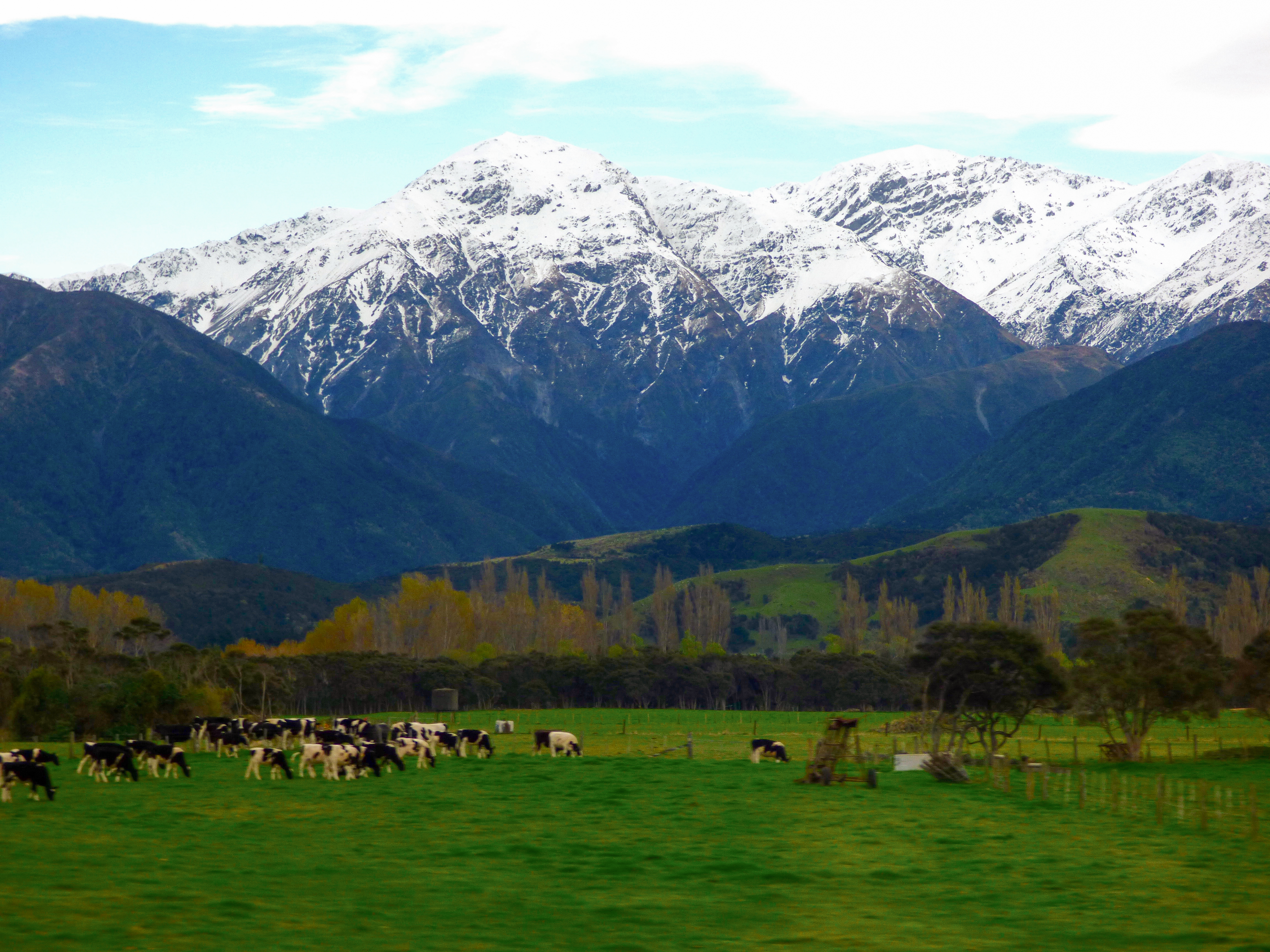 Kaikoura Ranges New Zealand with some cows in a field