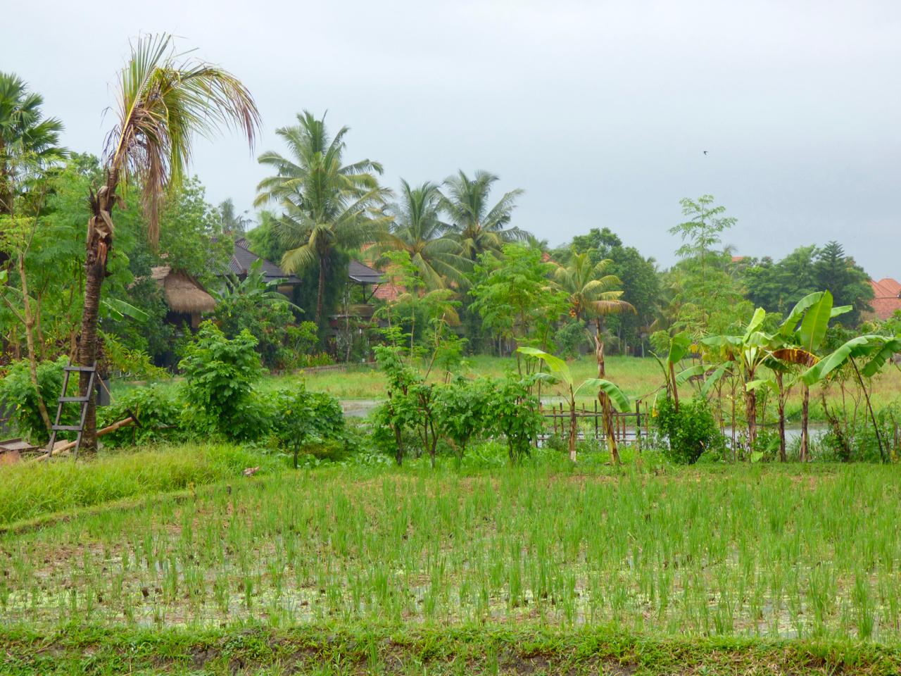 Rice paddy in Ubud, Indonesia