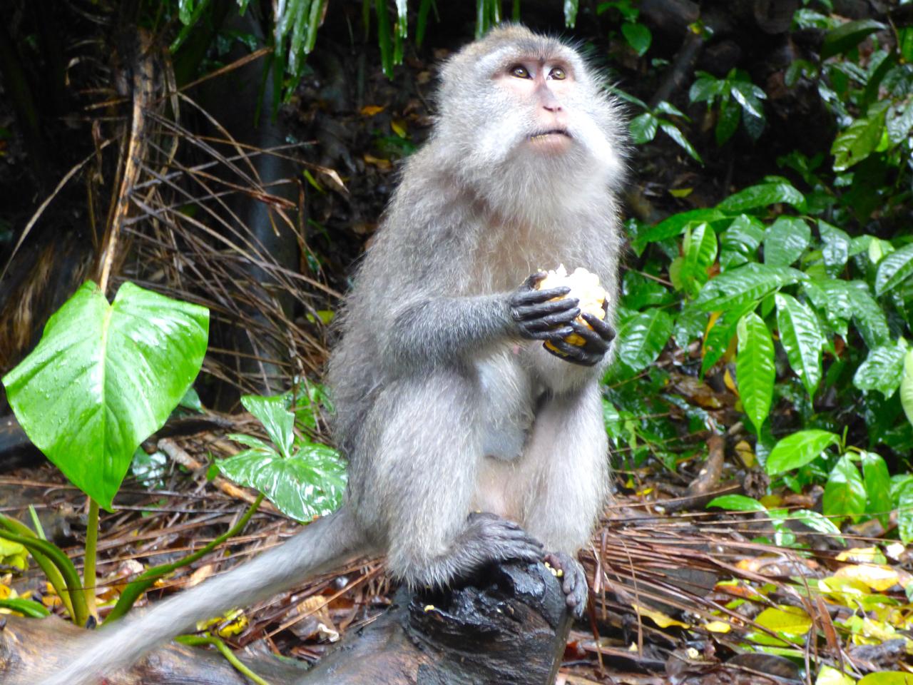 Monkey in the Sacred Monkey Forest. Ubud, Indonesia