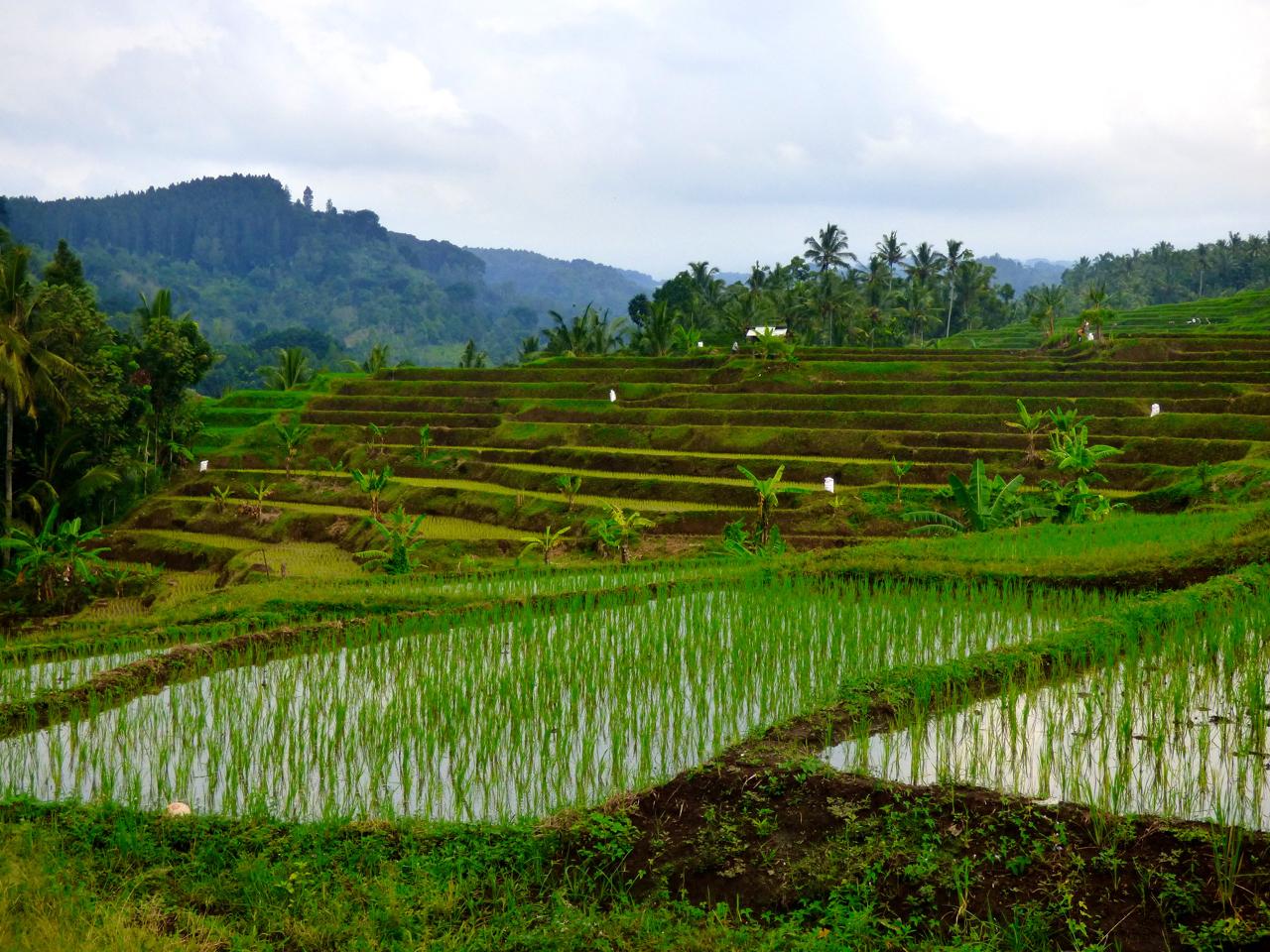 rice paddies, java, Indonesia
