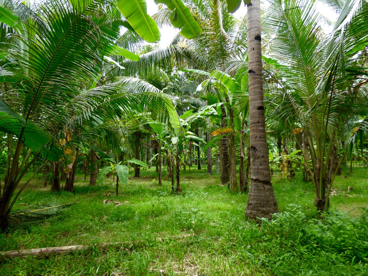 Banana leaves on Java