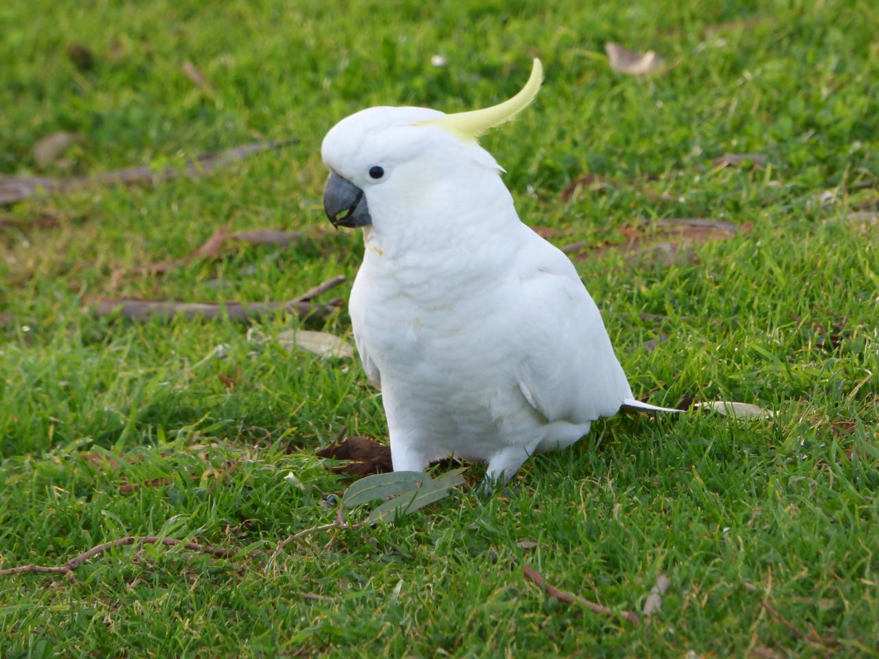 Cockatoo in Australia