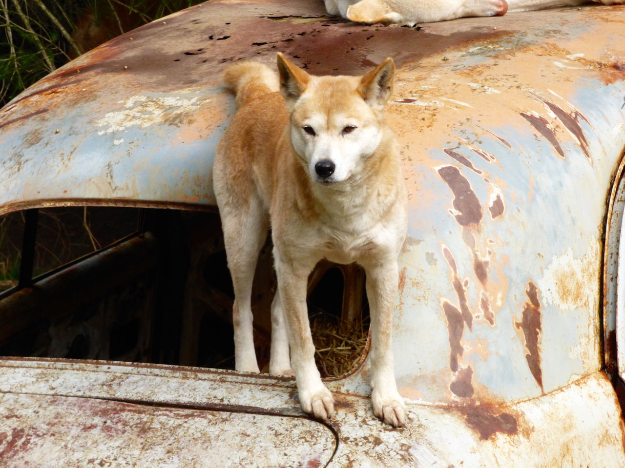 Dingo on a rusted, old car in Australia.