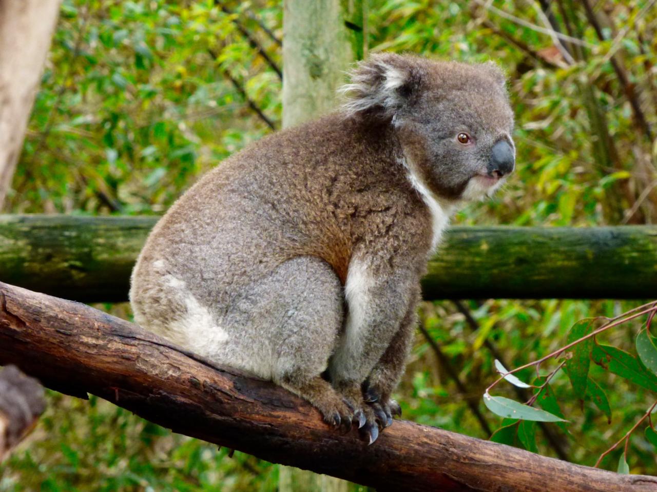 essay on koala