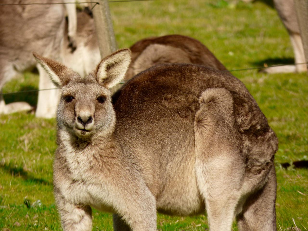 Kangaroo munching on grass in Australia