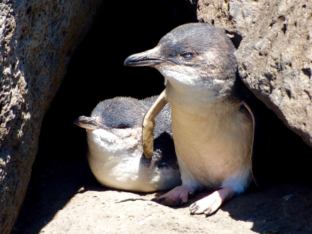 St. Kilda Penguins Melbourne, Australia