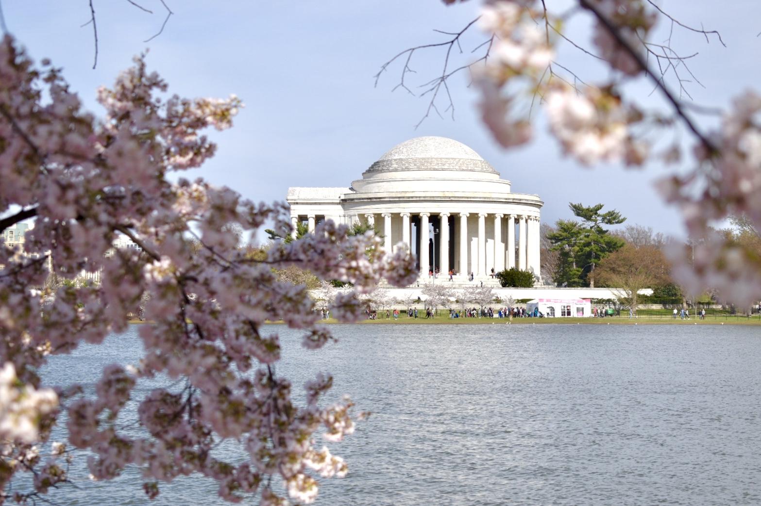 Cherry Blossoms Tidal Basin, Jefferson Memorial DC